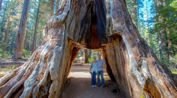 The Pioneer cabin tree older than 1,000 years has fallen after a violent storm that hit California