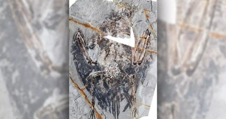 Exquisite Preserved Lungs from 120 million years old Stun researchers studying early bird