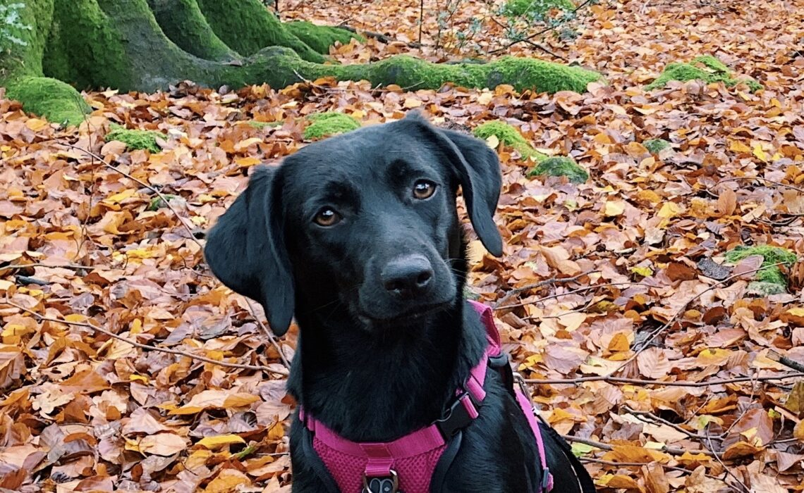 A rescue black lab mix in autumn leaves