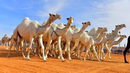 camels,camel milk, camelait