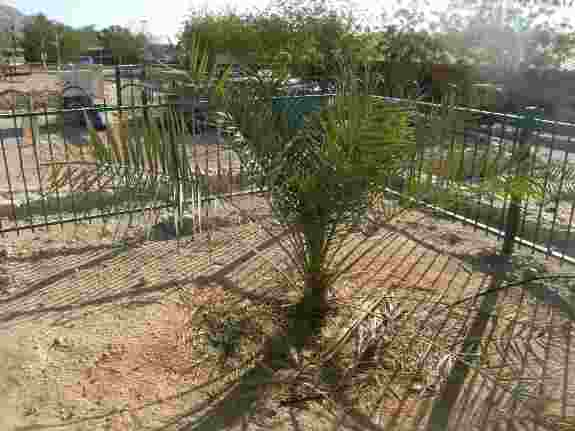 Judean Date Palm is still going strong even after sprouting from a 2,000 year old seed