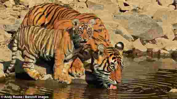 Tiger drink water water with cub