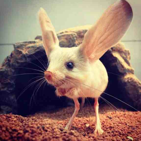 Which Animal Has The Largest Ears Relative To Their Body Size