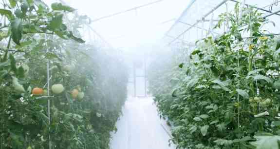 Tomatoes grown inside asian monsoon plant factory system