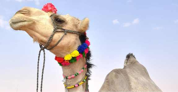 Secret Ingredient ? Is The Main Reason For Camels Do Not Drinking Water