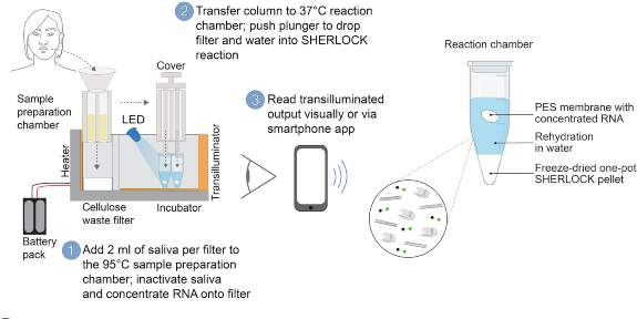 Schematic of miSHERLOCK, which integrates instrument-free viral RNA extraction and concentration from unprocessed saliva, one-pot SHERLOCK reactions that detect SARS-CoV-2 and variants, fluorescent output, and accessory mobile phone app for automated result interpretation.