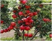 pomegranate tissue culture