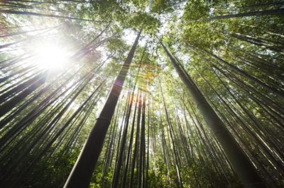 bamboo tissue culture