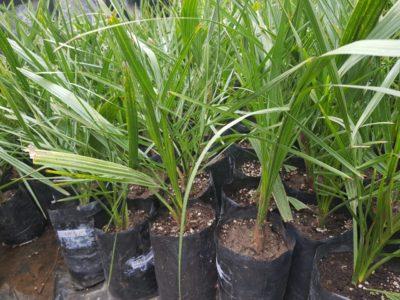 Date Palm Tissue Culture