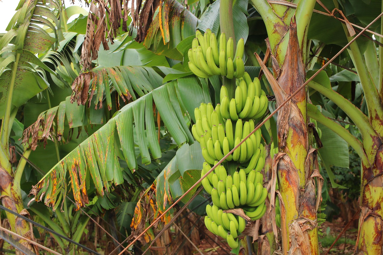A Brief Of Banana Tissue Culture & Beyond