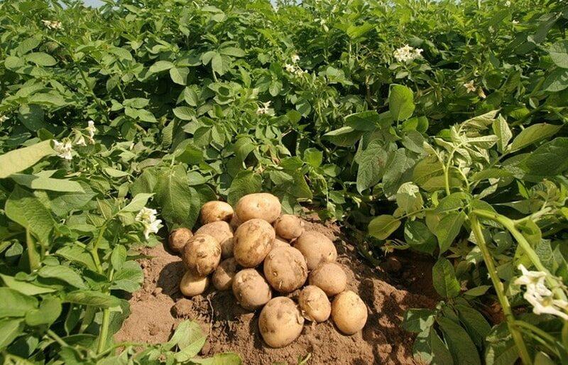 potato-tissue-culture