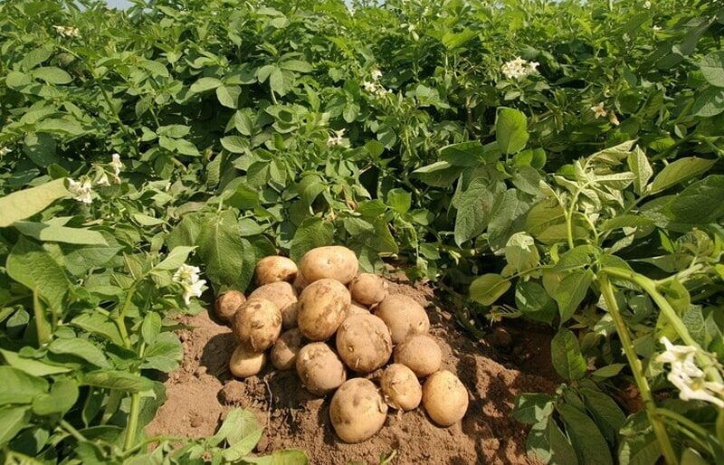 Why Should One Go For Potato Tissue Culture?