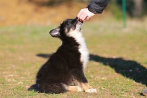Border Collie puppy sitting for a treat outdoors. Approved by Denise Flaim May 2018. Adobe Stock #192338958