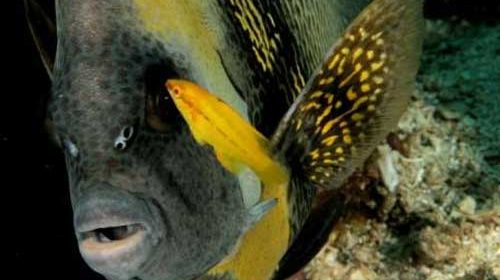 snorkeling Angle Fish