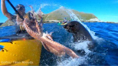 صورة كلب بحر يقدم أخطبوط هدية في وجه راكب زورق