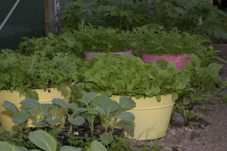 Herbs growing in our garden.
