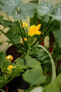Flowering vegetables in our garden.