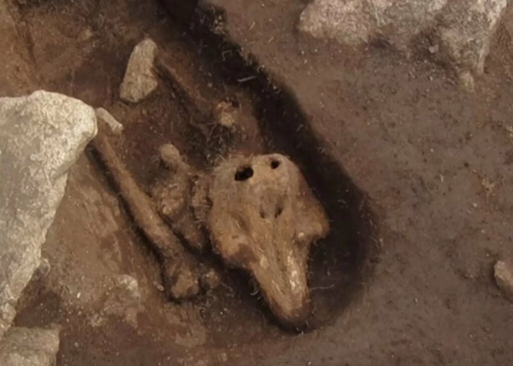 The human remains were buried only about 30 feet from the mysterious skeleton of a dolphin, found last year, that had been buried sometime in the Middle Ages.