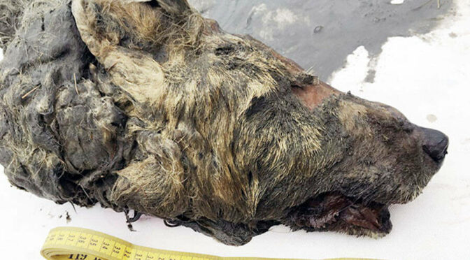 Severed head of large wolf found perfectly preserved in Siberian permafrost 40,000 years after it died