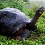 'Extinct' Gaint Galapagos tortoise found after 100 years
