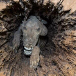Loggers expect to come across some things when they cut down trees. Bird's nests and things stuck in the branches seem like a given – a mummified dog in the center of a tree, however, does not.