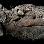 Nodosaur Dinosaur 'Mummy' Unveiled With Skin And Guts Intact in Canada
