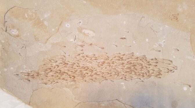 These 259 tiny fish were buried alive 50 million years ago, and survive now only as prehistoric 'photo'