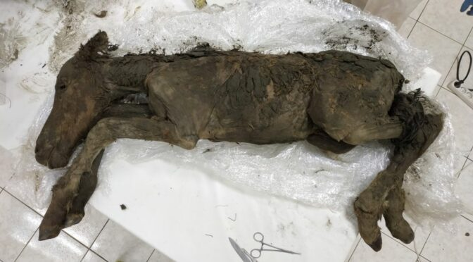 42,000-Year-Old Foal Entombed in Ice Still Had Liquid Blood in Its Veins