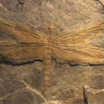 The Largest Insect Ever Existed Was A Giant 'dragonfly' Fossil Of A Meganeuridae