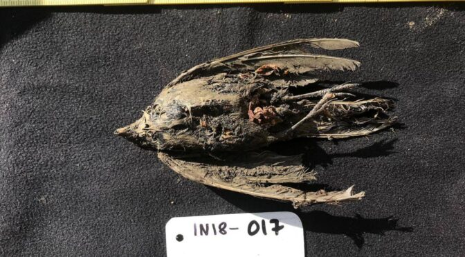 AMAZINGLY PRESERVED 46000-YEAR-OLD FROZEN HORNED LARK FOUND IN SIBERIA