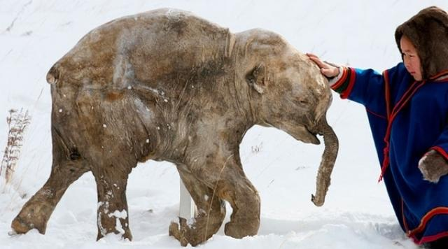 39000 Years Old Frozen Woolly Mammoth found in Siberia, goes on display in Tokyo