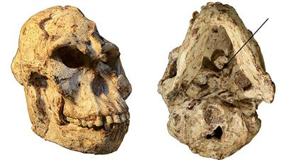 'Little Foot' skull reveals how this more than 3 million-year-old human ancestor lived