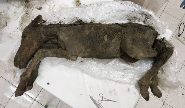Scientists Extracted Liquid Blood From 42,000-Year-Old Foal Found in Siberian Permafrost