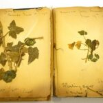 World oldest poppy goes on display to mark Remembrance Sunday