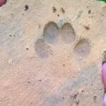 Cat's paw print found in Roman tile at Lincoln dig