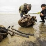 Woolly Mammoth Skeleton With Intact Ligaments Found in Siberian Lake