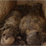 Cleopatra's final resting place: Mummies of two high-status Egyptians discovered.