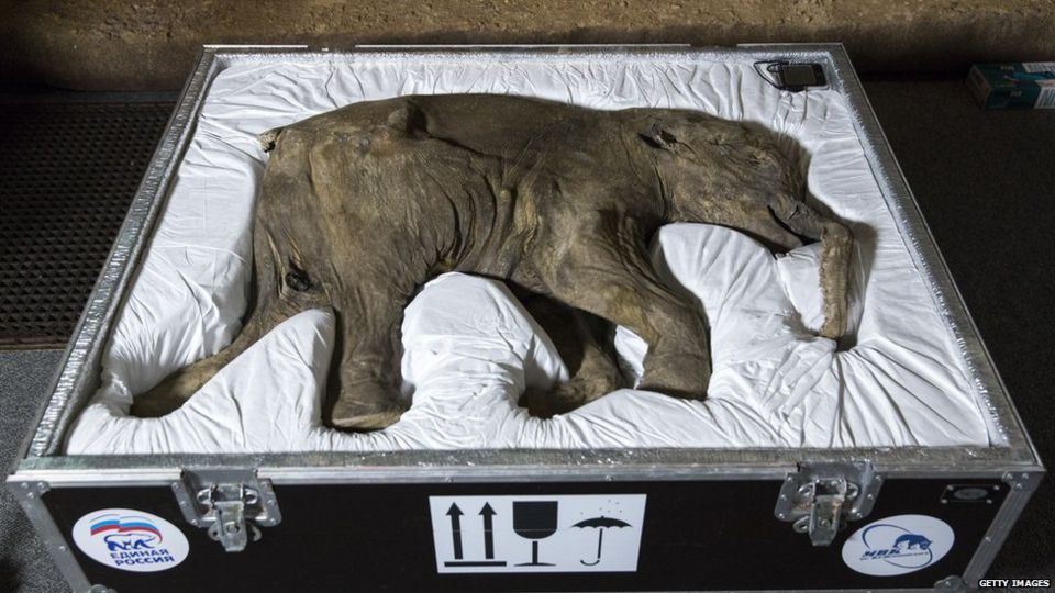 Baby lyuba, the worlds most complete and Best-Preserved Woolly Mammoth