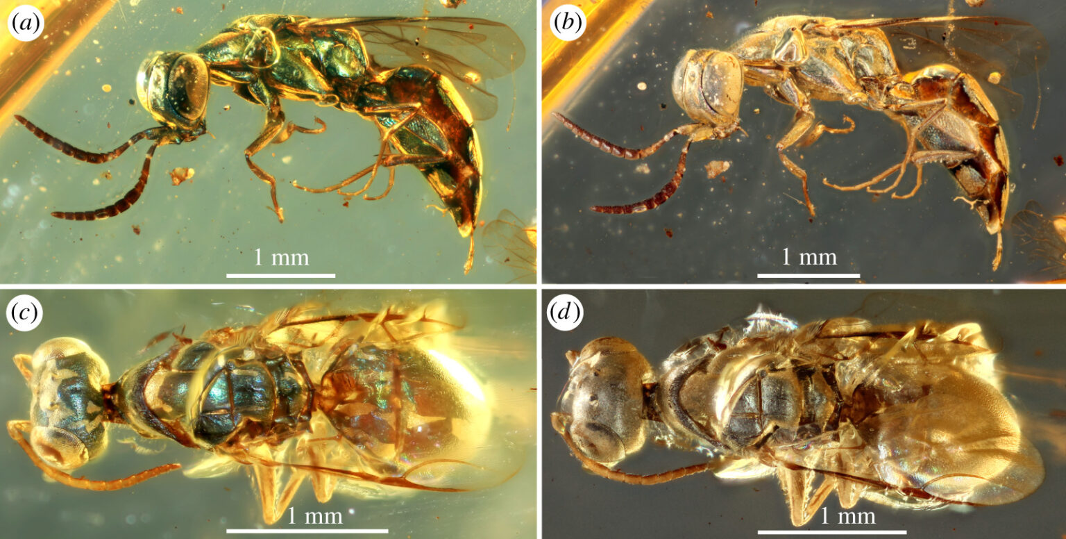 Amber fossils reveal the true colours of 99-million-year-old insects