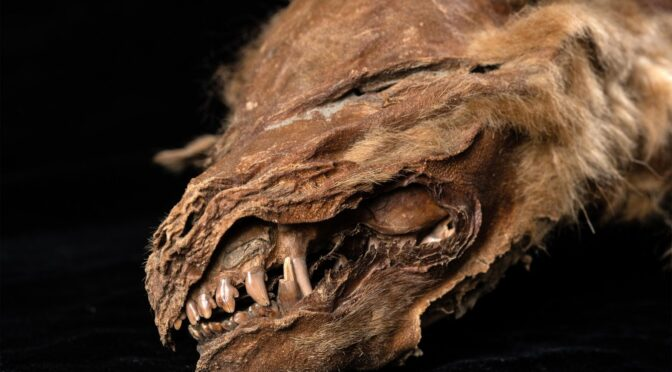 57,000-Year-Old Wolf Pup Mummy Uncovered in Canadian Permafrost
