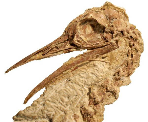 50 Million Year Old Fossil Identified as Relative of Ostriches