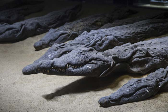 Over 300 mummified crocodiles were found at the temple of Kom Ombo in Egypt