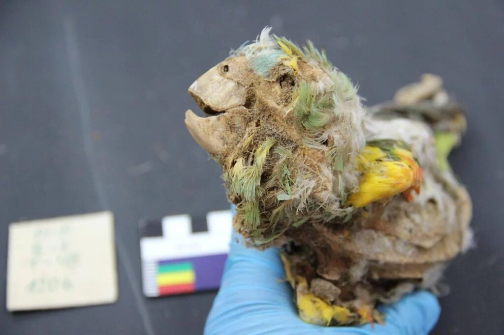 Mummified Parrots Found In The Atacama Desert Transported Hundreds Of Miles While Alive