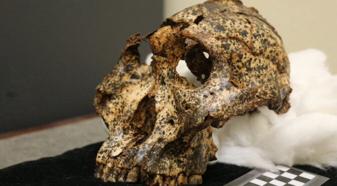 Fossil child skull from 2.2 million years ago reveals how humans out-smarted the other great apes – and the key is the soft heads of our babies