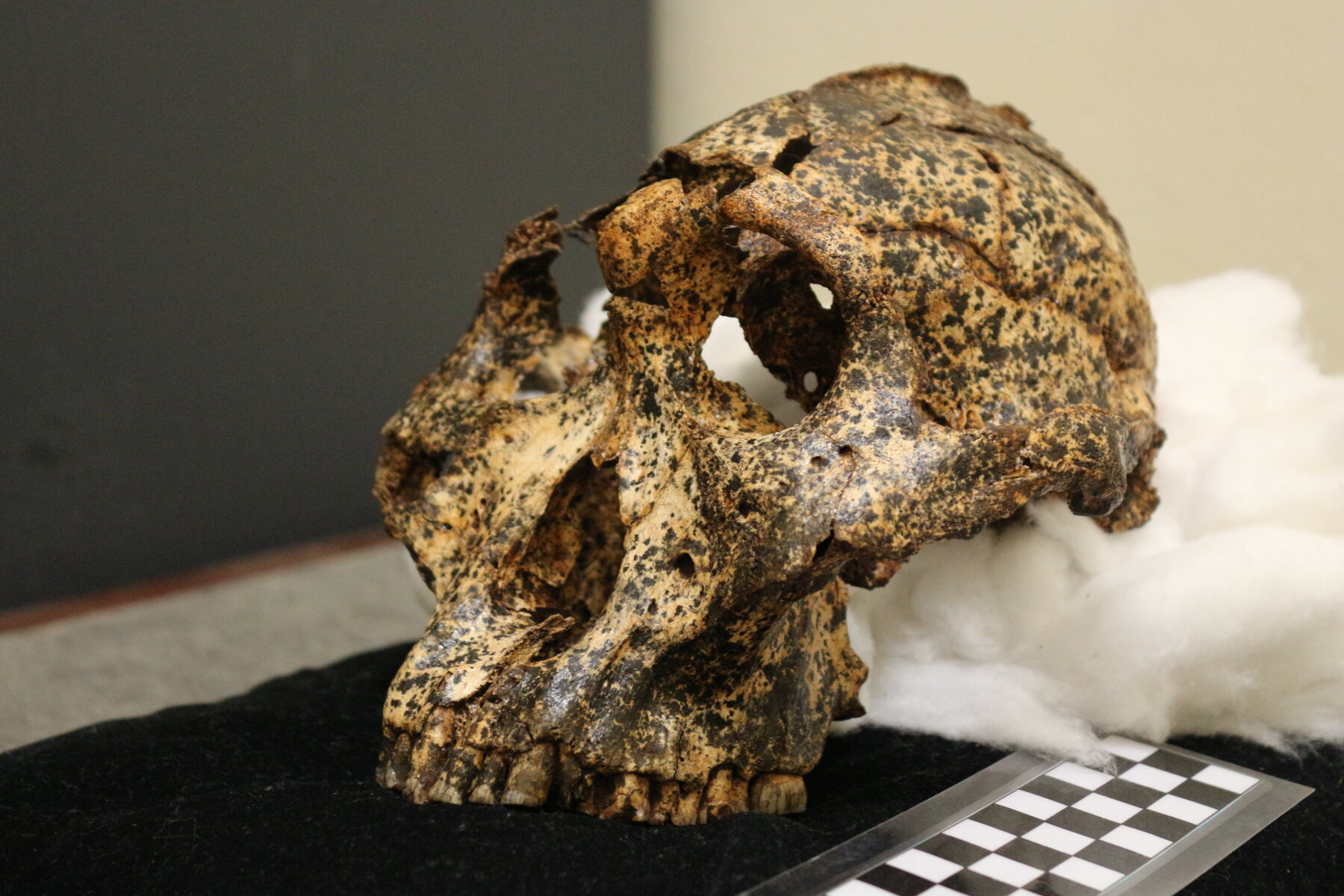 Fossil child skull from 2.2 million years ago reveals how humans out-smarted the other great apes - and the key is the soft heads of our babies