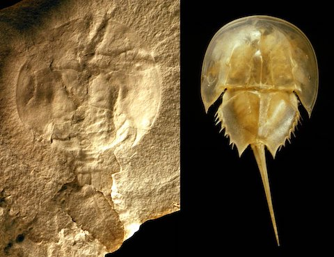 Oldest Horseshoe Crab Fossil Found, 445 Million Years Old