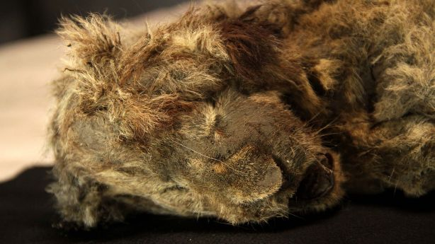 28,000-year-old perfectly preserved cave lion cub found frozen in Siberia, whiskers still intact