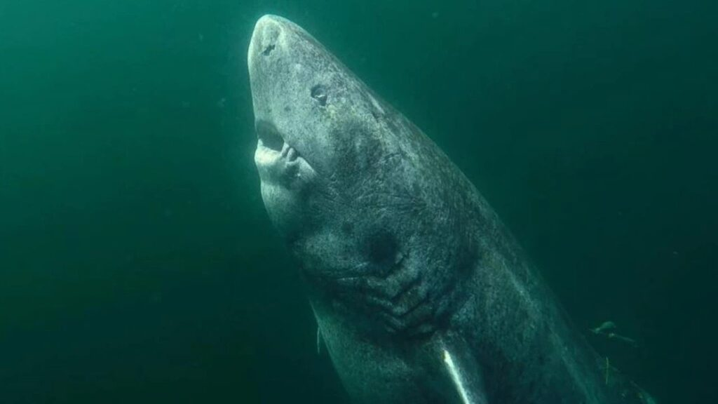 The Greenland shark spends most of its time deep underwater but comes to the surface to feed on large mammals