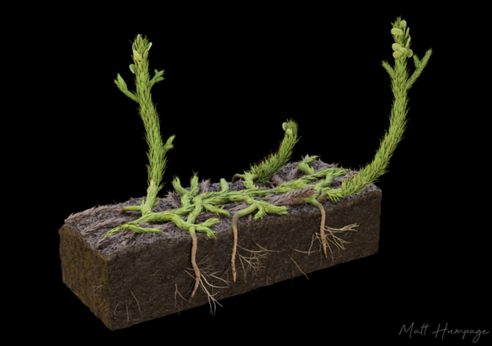 Artist's reconstruction of what Asteroxylon mackiei would have looked like in life. Each leafy shoot is roughly 1 cm in diameter.