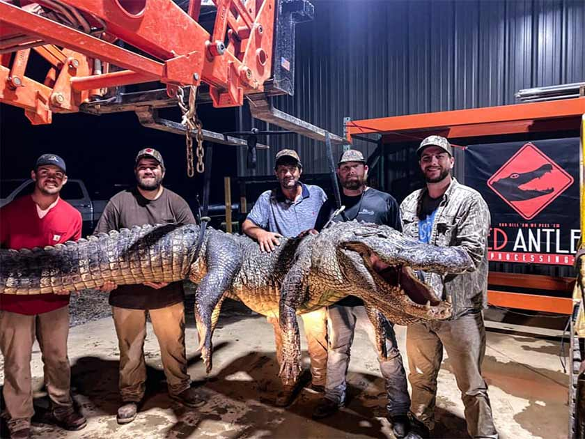 Ancient Artifacts Discovered in Stomach of Huge Mississippi Alligator